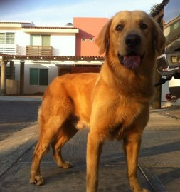 LUCA…  Golden Retriever