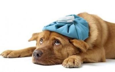 Capsula 4. Desnutrición en el perro